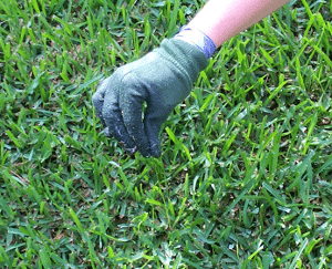 Rubbing grass/weed killer on a weed