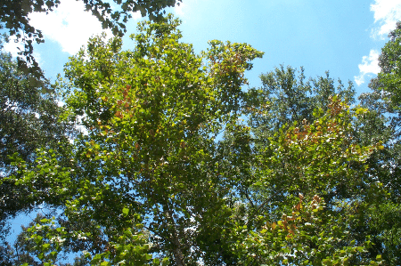 Trees with some yellow leaves