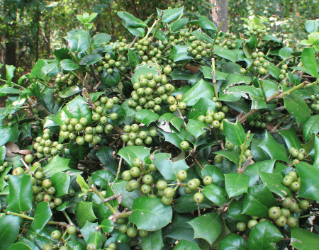 Holly shrub with green berries