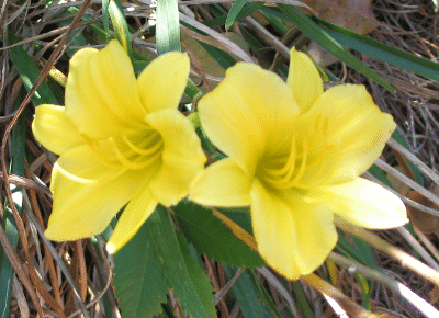 Yello Daylily Flowers