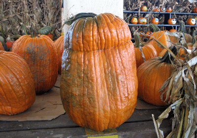 Tall pumpkin with dent at top