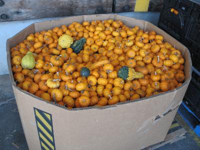 Large bin of mini pumpkins