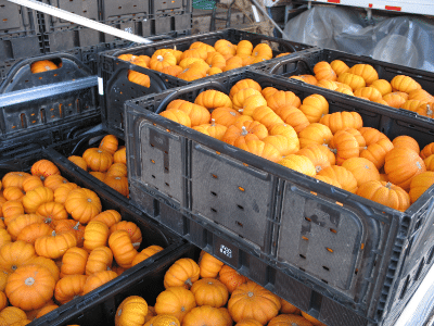Mini pumpkins in crates