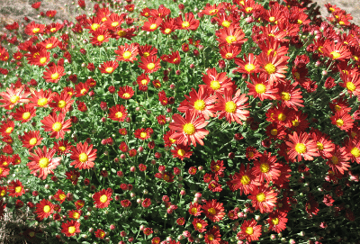 Red Chrysanthemum with Yellow Center