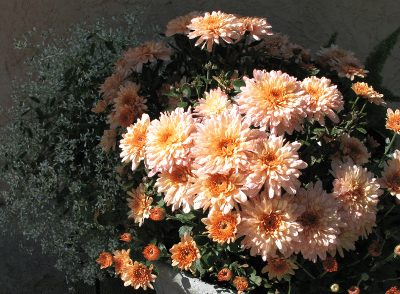 Salmon Chrysanthemum