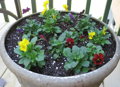 Bright Colored Violas in Flower Pot