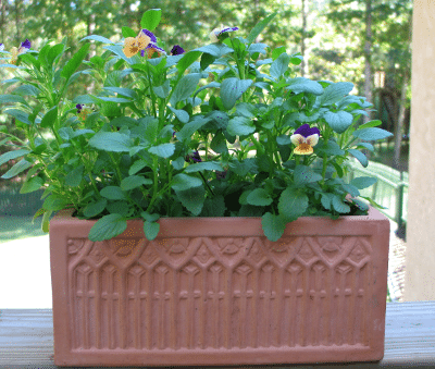 Violas in Clay Planter Pot