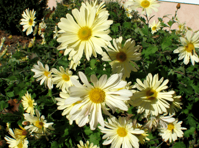 Ryan's Yellow Chrysanthemum