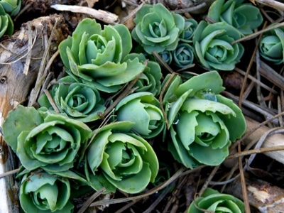 Autumn Fire Sedum emerging from the ground in winter.