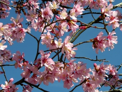 Pink cherrry tree blossoms against a blue sky