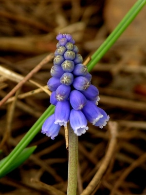 Miniature Grape Hyacinth