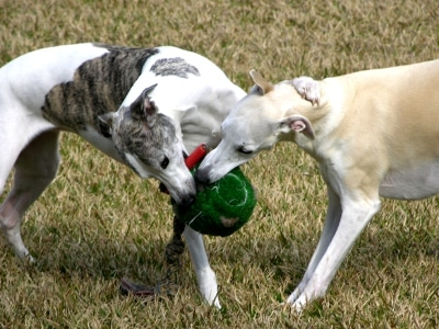 Two whippets playing with their favorite toys
