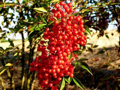Red nandina berries in winter