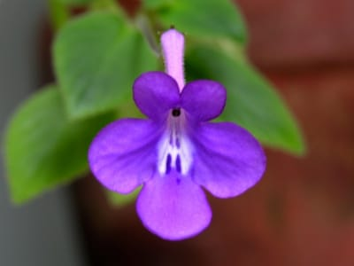 Streptocarpella Blue Flower