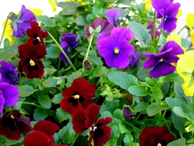 A mix of purple, red, and yellow violas in a flower pot