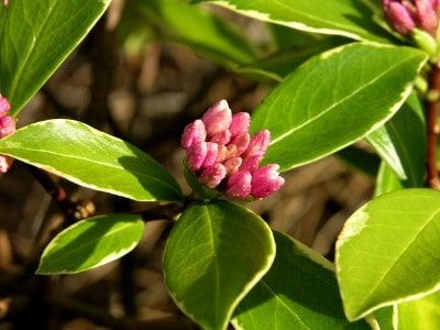 Winter Daphne Flower