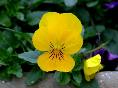 Yellow Viola Flower