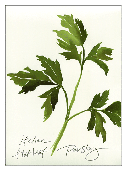 Italian Flat Leaf Parsley - Artwork by tbgdesign