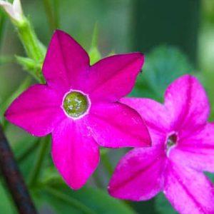 Nicotania Pink Flower