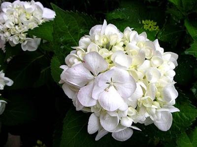 Sister Theresa White Hydrangea