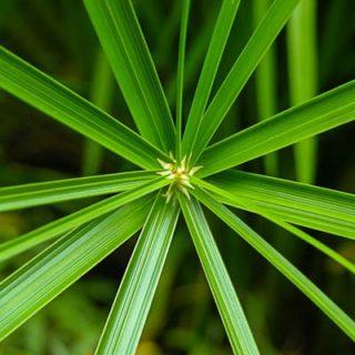 Baby Tut Papyrus Plant