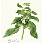 Basil - Original Artwork by tbgdesign