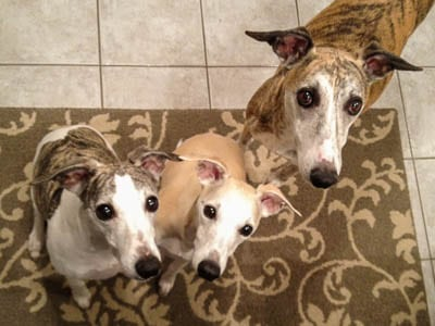 My whippets - Lexie, Trixie, and Tiger | Magnolia Days