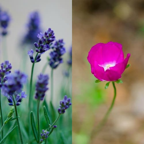 Lavender and Poppy | Magnolia Days