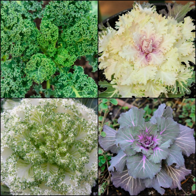 Kale and Ornamental Cabbage | Magnolia Days
