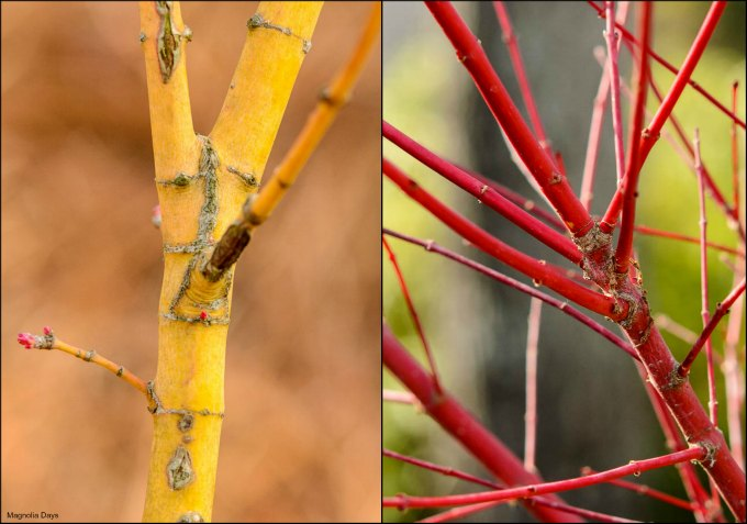 Bihou and Sango Kaku Japanese Maple Trees Colorful Bark | Magnolia Days
