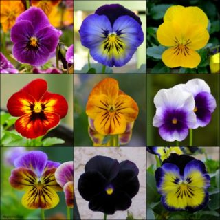Violas for a Southern Winter Garden | Magnolia Days