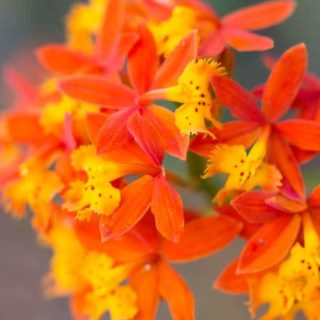 Epidendrum Radicans: The Easiest Orchid You've Never Heard Of