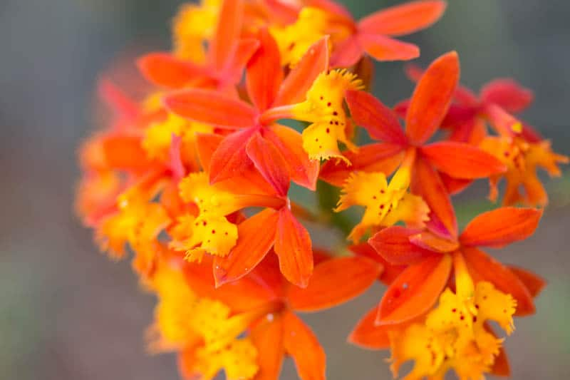 Epidendrum Radicans The Easiest Orchid You Ve Never Heard Of