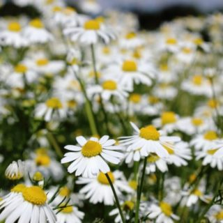 How to Make Chamomile Tea for Hair Brightening