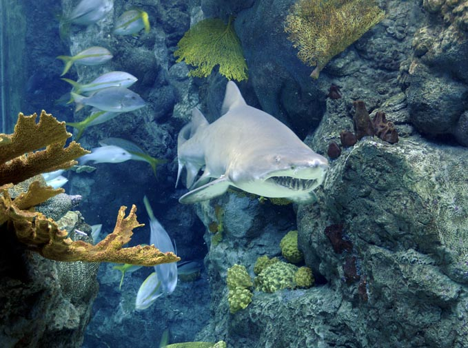 Florida Aquarium shark in tank, one of the best tampa attractions for families