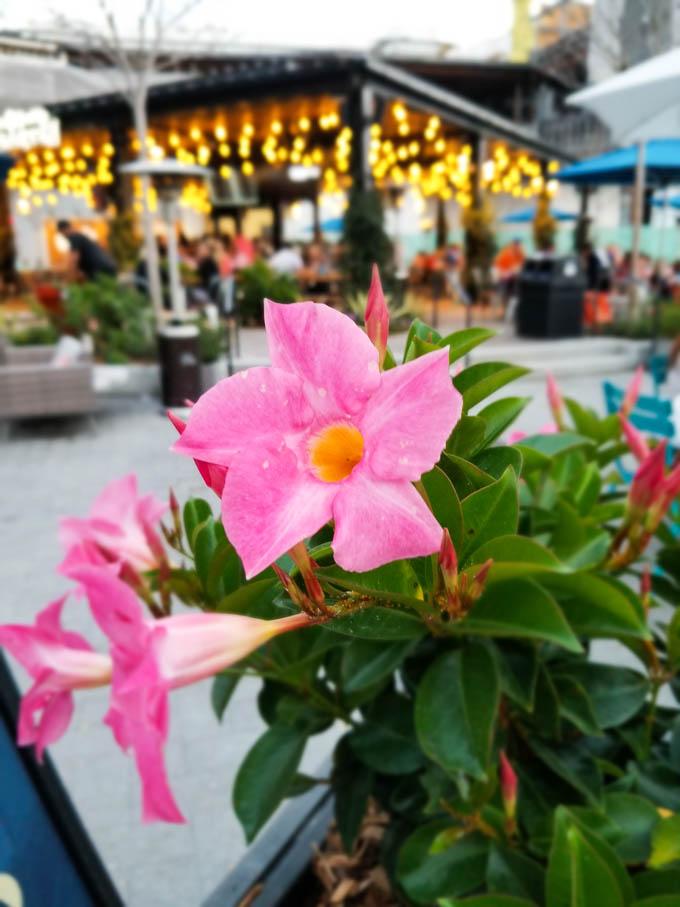 Pink flowers with biergarten in the background